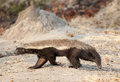 Honey badger africa botswana walking Royalty Free Stock Image
