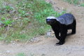 Honey badger the strolling in the soil Stock Images