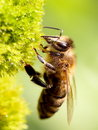 Honey Bee Stock Images