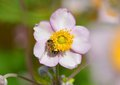 Honey bee on anemone flower worker curled round stamens of japanese Stock Image
