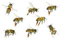 Honey bee apis mellifera variations isolated on the white background Royalty Free Stock Image