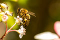Honey bee balancing on top of flower isolated with yellow pollen leg Royalty Free Stock Image