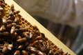 Honey bee bees are thriving in the comfort of their well kept hive Stock Photo
