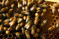 Honey bee bees are thriving in the comfort of their well kept hive Royalty Free Stock Photography
