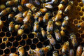Honey bee bees are thriving in the comfort of their well kept hive Stock Photography