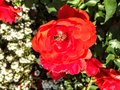 Honey bee on bright red Rose Blossoms in Canada Royalty Free Stock Photo