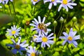Honey bee collecting pollen from blue daisy Royalty Free Stock Photo