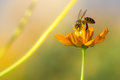 Honey bee collecting pollen and nectar yellow cosmos flower. Royalty Free Stock Photo