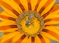 Honey bee collecting pollen on a yellow daisy flower Royalty Free Stock Photo