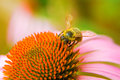 A Honey Bee Collects Pollen On A Echinacea Flower. Royalty Free Stock Photo