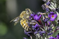 Honey bee cover in pollen on a butterfly bush Stock Photography