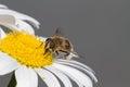 Honey bee on daisy 1 Royalty Free Stock Photo