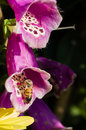 Honey bee on digitalis purpurea polinating a red flower Royalty Free Stock Photos