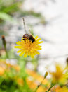 Honey bee feed nectar from yellow flower of close up Royalty Free Stock Photos