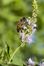 Honey bee flowering basil a worker gathering pollen from plant there are three castes of bees queens which produce eggs drones or Stock Photo