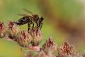 Honey bee gather pollen close up Stock Photo