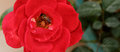 Honey Bee Gathering Pollen from a Red Rose-top view