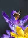 Honey bee gathers pollen. Stock Photos