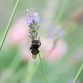 Honey bee on a lavender flower collects nectar Royalty Free Stock Photo