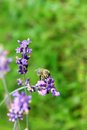 Honey bee on lavender flowers in the garden Royalty Free Stock Photos