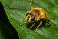 Honey bee on a leaf standing still green Royalty Free Stock Image