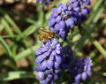 Honey bee on muscari flowers purple in spring Royalty Free Stock Photo