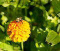 Honey bee on orange yellow flower left side dominate late summer with pollen sacs on legs-3448 Royalty Free Stock Photo