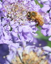 Honey bee on purple flower Stock Photos