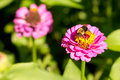 Honey bee on purple red yellow pollen flower facing off smaller bug-3468 Royalty Free Stock Photo