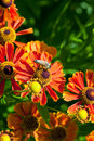 Honey bee sips nectar from gaillardia flower close up in summer day Stock Photography