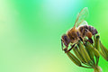 Honey bee sits on inflorescence green background Stock Photography