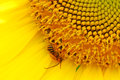 Honey bee on a sunflower yellow close up Royalty Free Stock Images