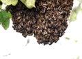 Honey bee swarm on an apple tree. Royalty Free Stock Photo