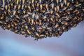 Honey bee swarm bees make in hive Stock Photo