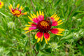 Honey Bee on a Texas Indian Blanket (or Fire Wheel)  Wildflower Royalty Free Stock Photo