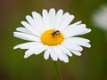 Honey Bee on White Daisy Stock Image