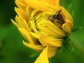 Honey bee on a yellow flower detail of sitting in garden Stock Photography