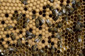 Honey Bees Royalty Free Stock Images