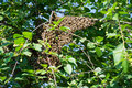 Honey bees clinging to a cherry tree swarm of Stock Images