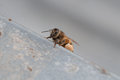Honey bees coming back home Royalty Free Stock Photo