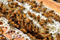 Honey bees gathered on honeycomb in beeyard Royalty Free Stock Photo