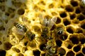 Honey bees on the hive Royalty Free Stock Photo