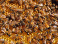 Honey bees in honeycomb productive members of a healthy honeybee colony working their hive Stock Photography