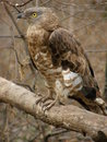 Honey buzzard Stock Image