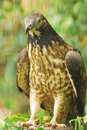 Honey Buzzard Royalty Free Stock Photography