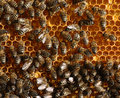 Honey cells and  bees Royalty Free Stock Image