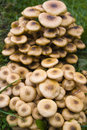 Honey fungus  Royalty Free Stock Image