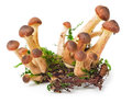 Honey fungus Royalty Free Stock Photo