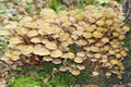 Honey fungus armillaria mellea large group on tre root Royalty Free Stock Image