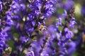 Honeybee bee in a lavender field Stock Photography